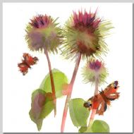 Burdock and Tortoiseshells